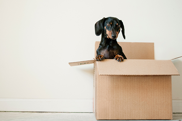 Black and brown dachshund puppy in a cardboard box.