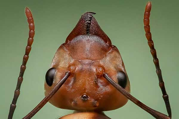 Ant head close up