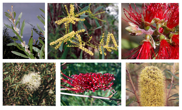 Native flowering trees and shrubs provide a sustainable and natural food source for wildlife. ; Pictured (left to right): Broad Leaf Hakea, Sydney Golden Wattle, Crimson Bottlebrush, Deane's Honeymyrtle. Long Leaf Grevillea, Banksia